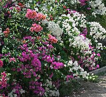 Bougainvillea of Many Colours by Gerda Grice
