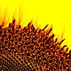 Sunflower by Karen  Betts