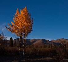 Two Trees In Denali by Melissa Seaback