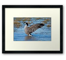 Canada Goose Stretches its Wings Framed Print