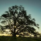 The Magic Fig Tree by Malcolm Katon