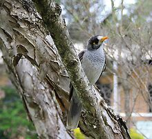 Eyeing Off My Hot Chips - Australian Noisy Miner  by Vanessa Barklay