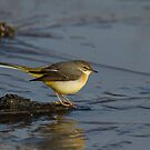 Grey Wagtail by Richard Bond