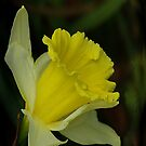 Yellow Daffodil  (Spring) by Trevor Kersley