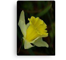 Yellow Daffodil  (Spring) Canvas Print