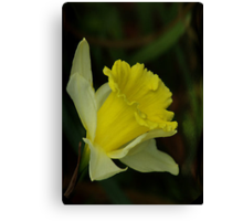 Yellow Daffodil  (Spring) Canvas Print
