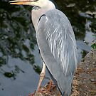 Harry the Local Heron by Rebecca Eldridge