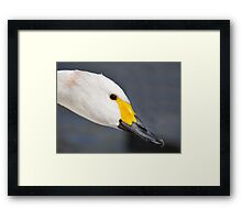 A Beautiful Bewick's Swan Framed Print