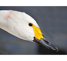 A Beautiful Bewick's Swan Photographic Print