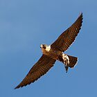110510 Peregrine Falcon by Marvin Collins