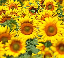 Sunflowers by pinky763