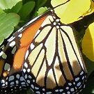Monarch feeding on Pansies by Ann Reece