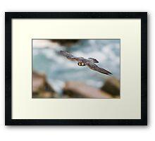 Peregrine Falcon 2 - Niagara Falls Ontario, Canada Framed Print