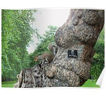 Squirrel in St James' Park, London Poster