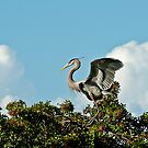 Great Blue Heron by MKWhite