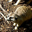 Claws of the Meerkat by Keith Richardson