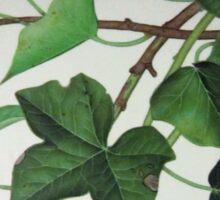 ivy leaves Sticker
