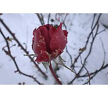 Rose and snow Photographic Print