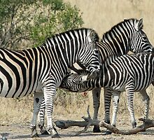 Young zebra suckling! by jozi1