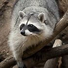 Rocky The Raccoon by Angela Pritchard