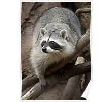 Rocky The Raccoon Poster