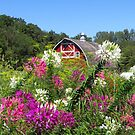 Pretty Cleome by lorilee