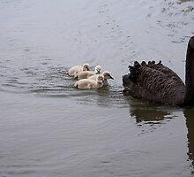 Black Swan and cygnets by Anna Calvert