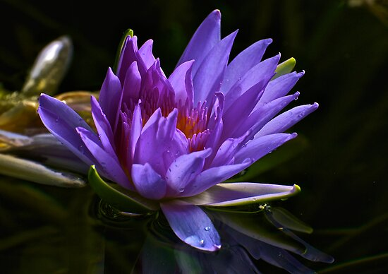Purple Water Lily by Ken Scarboro