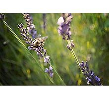 Bee Loves Lavender Photographic Print