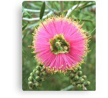 Pink Bottlebrush Canvas Print