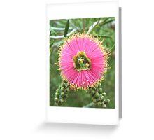 Pink Bottlebrush Greeting Card