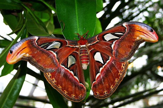 Atlas moth - Attacus atlas by Lepidoptera
