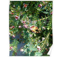 Darwinia Citriodora - Lemon scented Myrtle Poster