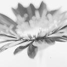Gerbera Grain by Paul Revans