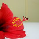 Hibiscus I by LBrammer