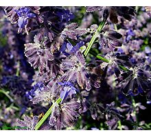 Purple Sage Photographic Print