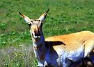 Hair-raising day - pronghorn doe in Montana by amontanaview