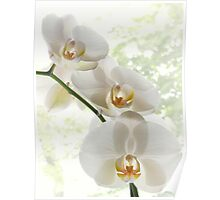 Beautiful white orchids Poster