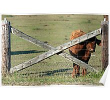 Cow Peeking Through The Fence Poster