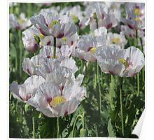 Opium Poppies Poster