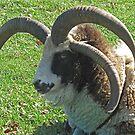 Jacob Sheep by Monnie Ryan