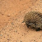 Echidna crossing the road,Kangaroo Island, S.A. by elphonline
