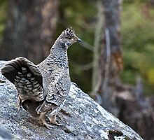 Blue Grouse at Fern Lake by Gary Siemer