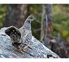 Blue Grouse at Fern Lake Photographic Print
