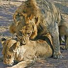Mating lions by jozi1