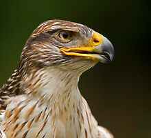 Ferruginous Hawk Portrait by Daniel  Parent