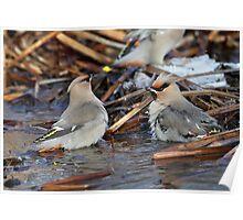 Bohemian Bird Bath / Bohemian Waxwings Poster