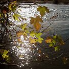 Golden Leaves, Sun on the water by Barbara Wyeth