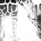 Giraffe by KatsEyePhoto