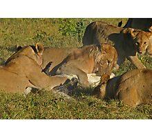 Lion -crocodile interaction 4 Photographic Print